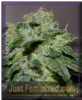 G13 Labs Chocolate Heaven Female 5 Weed Seeds